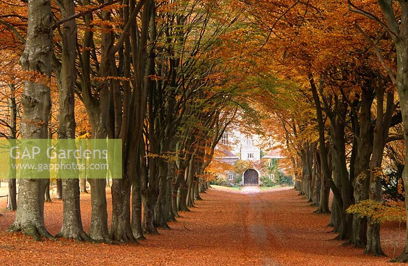 The Double Beech Avenue - inner green beech, outer copper beech, leading down to the 17th century gatehouses guarding entry to the South Court, Cranborne Manor Garden, Cranborne, Dorset