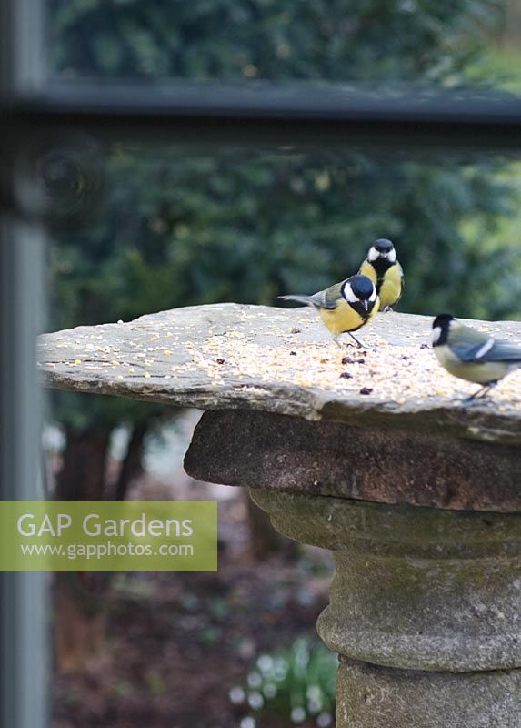 Bluetits feeding on old stone sundial base used as birdtable placed near kitchen window for interest