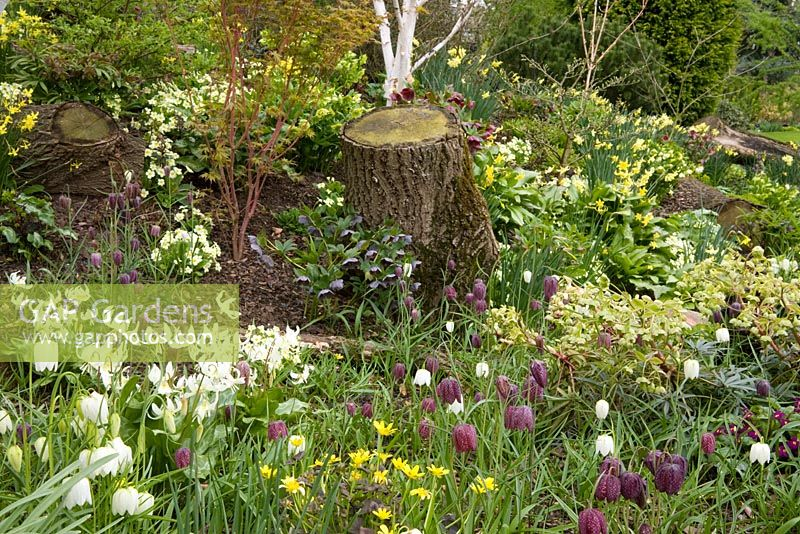 Fritillaria meleagris and Erythronium californicum 'White Beauty' growing with Helleborus and Narcissus in John Massey's dell garden