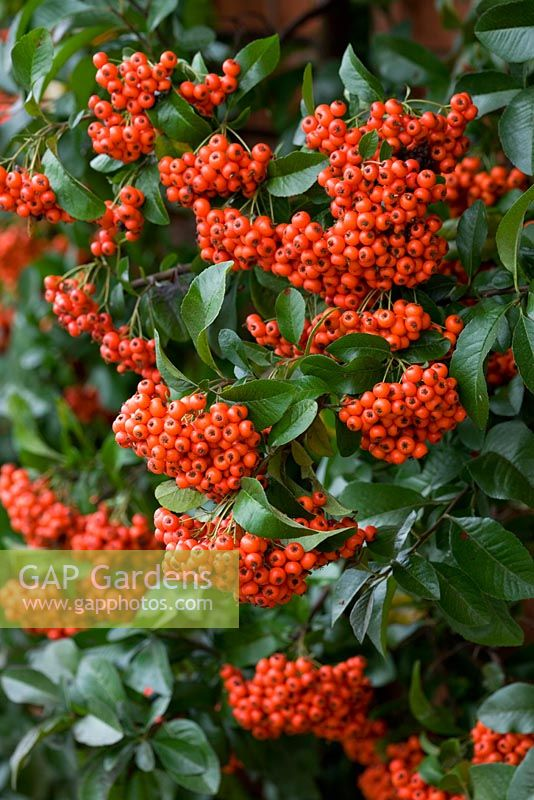 Pyracantha 'Mohave' - Firethorn