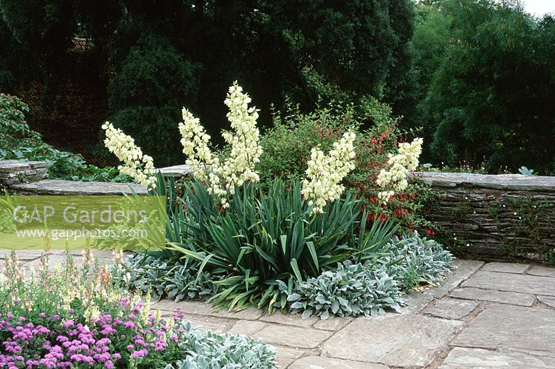 Yucca filamentosa with Stachys lanata edging and Ageratum houstonianum in the foreground at Hestercombe gardens, Somerset