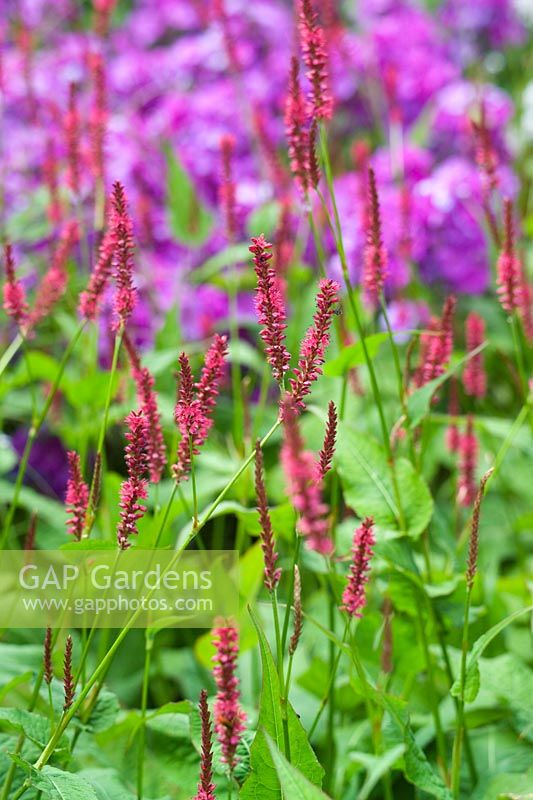 Persicaria amplexicaulis 'Firetail' in front of Phlox paniculata 'Blue Paradise'