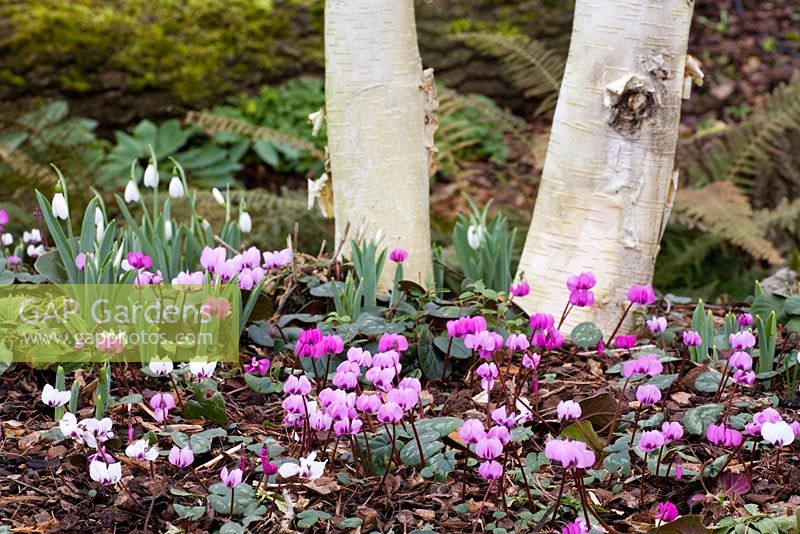 Cyclamen coum and Galanthus growing at the base of silver birch - Betula utilis var. jacquemontii