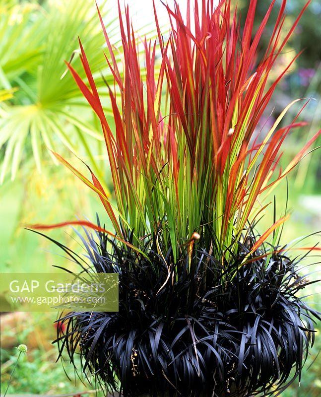 Gap gardens potted japanese blood grass imperata for Dark ornamental grasses