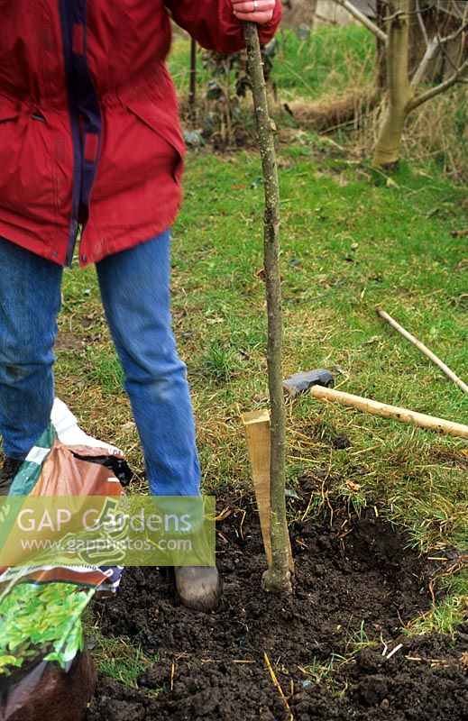 Planting a fruit tree. Firming soil with ball of foot. Stake fixed in position before planting to avoid damage to roots
