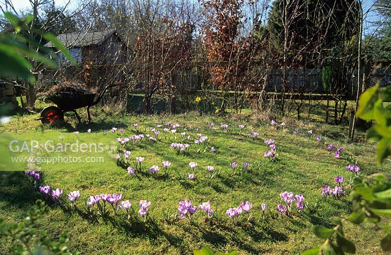 Crocus planted in spiral in grass