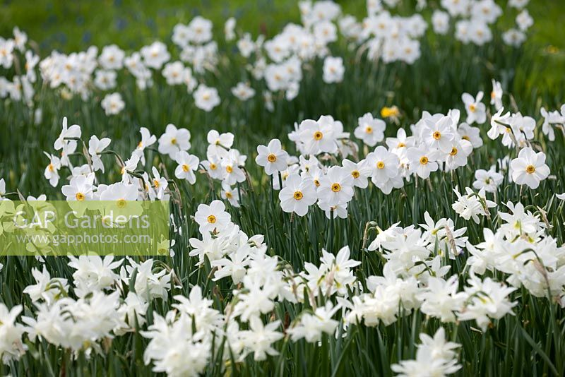 Narcissus 'Actaea' and Narcissus 'Thalia'