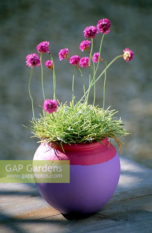 Clare Matthews Garden Blog Free Chive Edging Is Looking: Armeria Maritima 'Nifty Thrifty' In Pink And