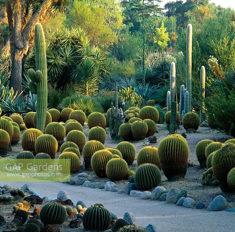GAP Gardens - Echinocatus grunsonii and tall Trichicereus pasacana ...