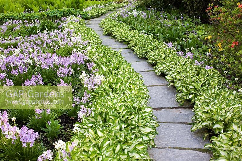 Gap Gardens Path Through Hosta Undulata Univittata And