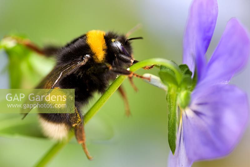 Bumble bee resting on Viola flower