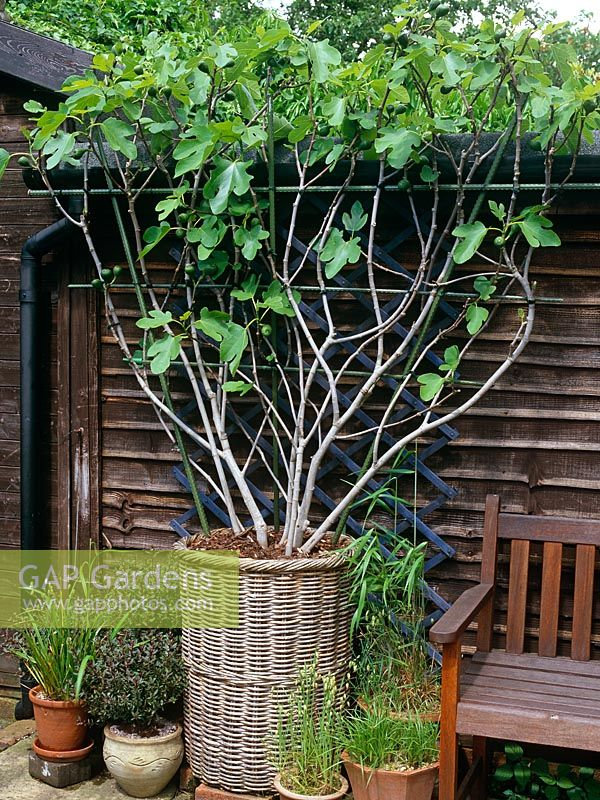 Espalier trained Ficus 'Brown Turkey' - Fig tree in willow basket container