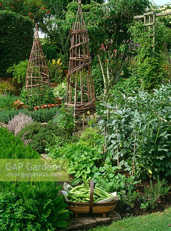 Broad beans in trug in the vegetable garden, with broad beans growing, Good King Henry, Thymus and decorative willow obelisks