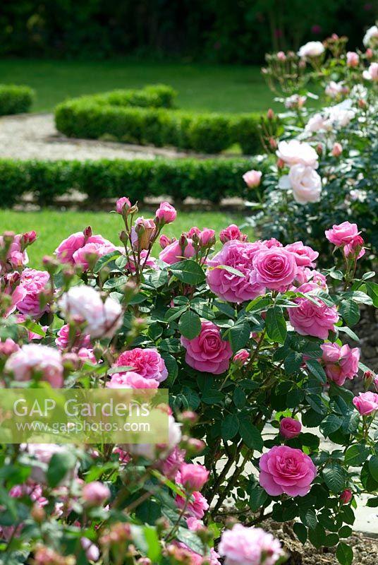 Formal Rose Garden With Rosa 'Gertrude