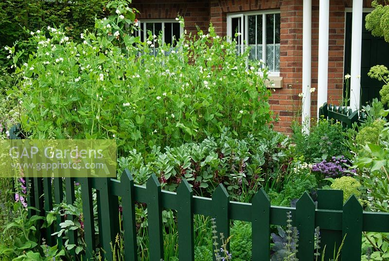 Vegetable Patch In Small Front Garden With Picket Fence, Peas And Broad  Beans   The