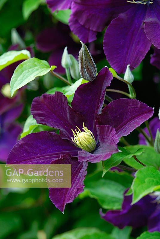 gap gardens clematis 39 warszawska nike 39 agm image no. Black Bedroom Furniture Sets. Home Design Ideas