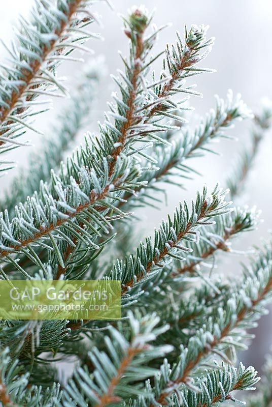Frosty Picea abies - Norway Spruce or Christmas Tree in December