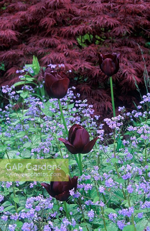 Spring border with Tulipa 'Queen of Night', Brunnera macrophylla 'Jack Frost' and Acer palmatum dissectum 'Garnet'