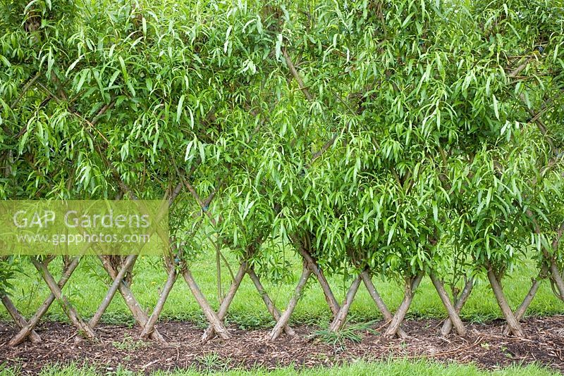 Hedge of trained and interwoven willow at Garden Organic in Ryton