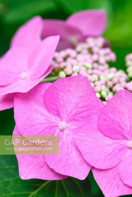 Hydrangea macrophylla 'M�we' AGM