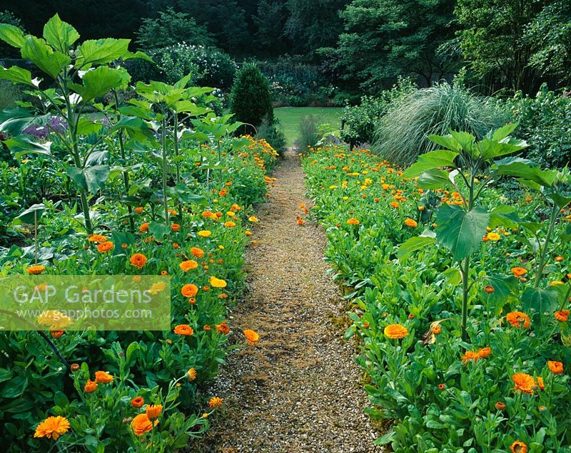 Helianthus foliage and Calendulas growing at Hadspen House Garden, Somerset