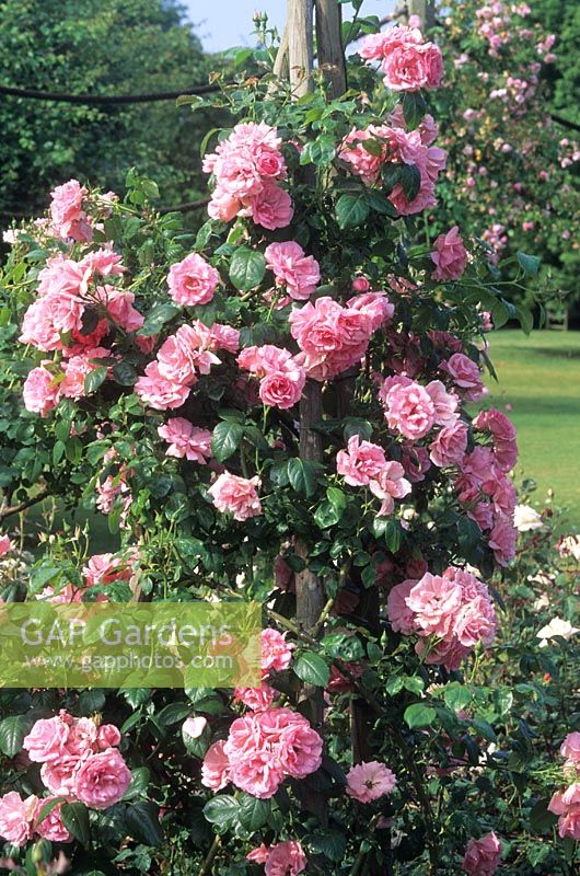 gap gardens rosa 39 bantry bay 39 climbing rose on plant support image no 0070770 photo by. Black Bedroom Furniture Sets. Home Design Ideas