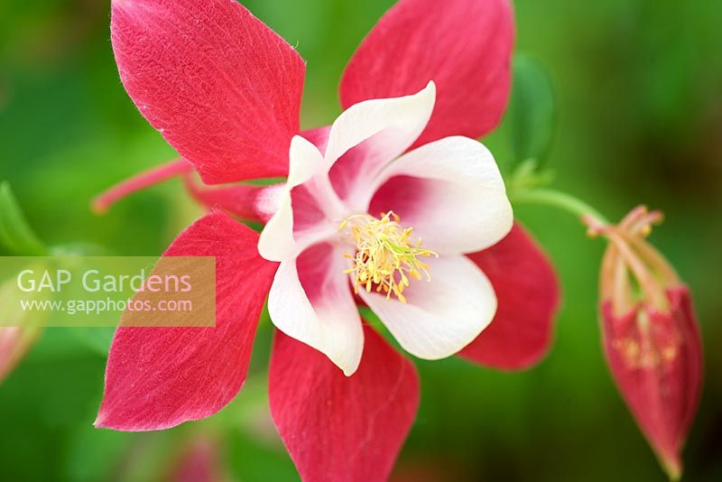 Aquilegia 'Red Star' - Columbine