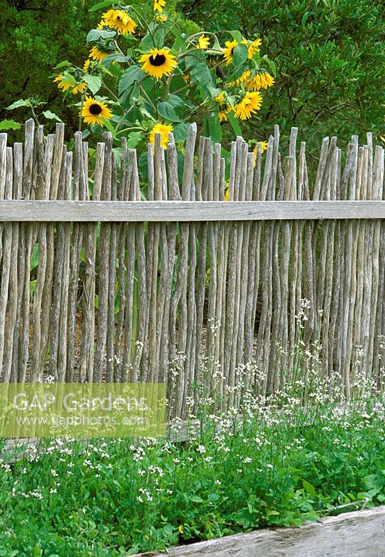 Gap Gardens Rustic Wooden Fence With Sunflowers Behind