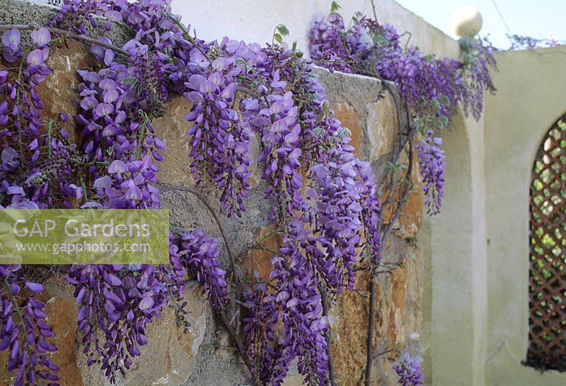 Gap gardens wisteria sinensis on boundary wall in for Boundary wall cost calculator