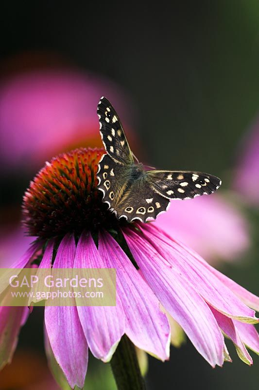Speckled Wood Butterfly on Echinacea 'Leuchtstern' - Coneflower