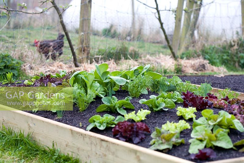 GAP Gardens - Salad leaves growing in a raised bed including Ruby ...