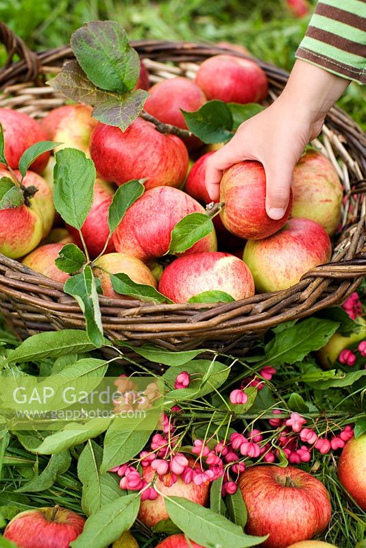 Child taking an apple - Malus 'Cox Pomone' from basket picked in an organic run orchard
