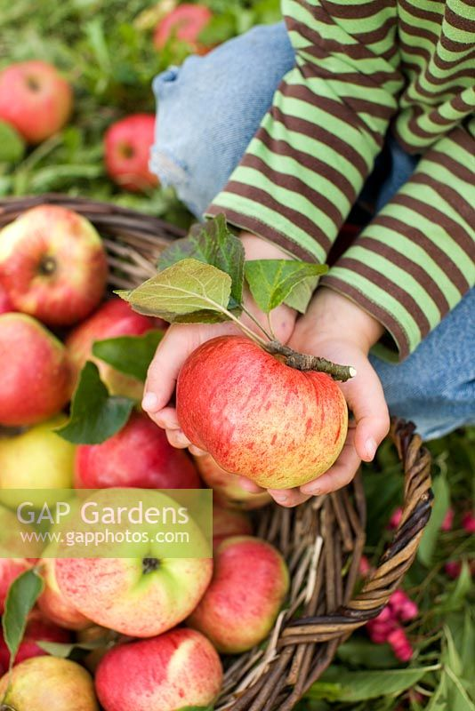 Child holding an apple - Malus 'Cox Pomone' from basket picked in an organic run orchard