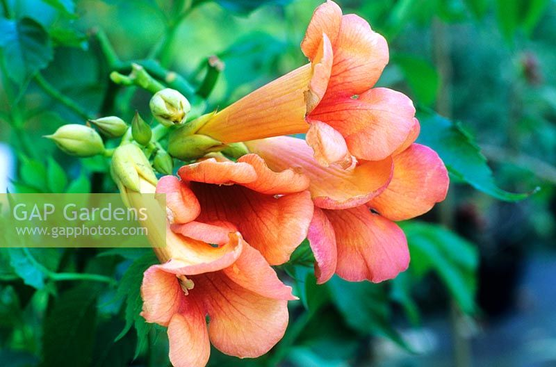 gap gardens campsis radicans 39 indian summer 39 image no. Black Bedroom Furniture Sets. Home Design Ideas