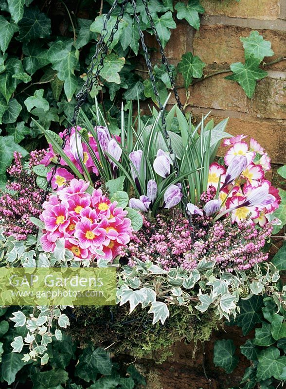 Winter/Spring hanging basket with variegated ivy tied in to the rim and pink, yellow- eyed primroses and striped Crocus 'Pickwick' emerging through winter heathers.