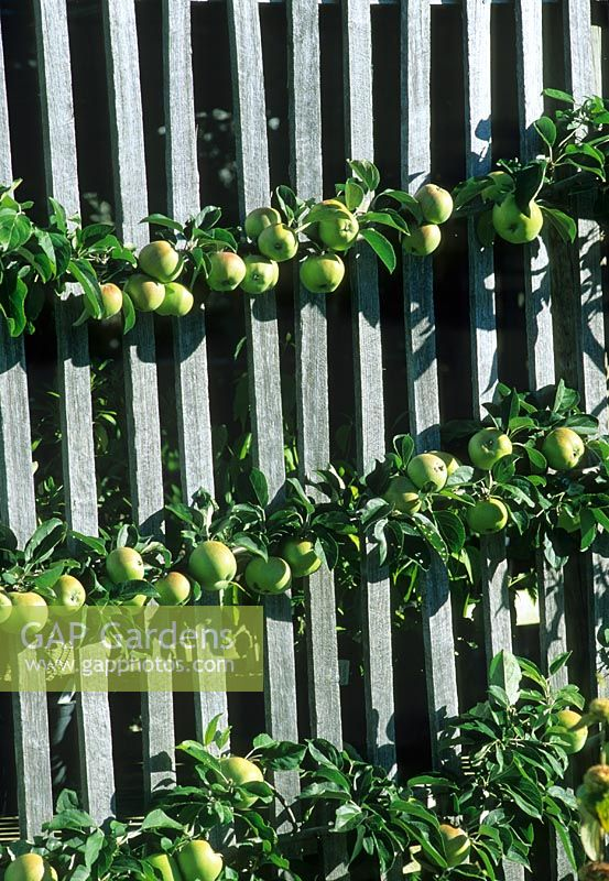 GAP Gardens - Apple cordon trained against wooden fence ...