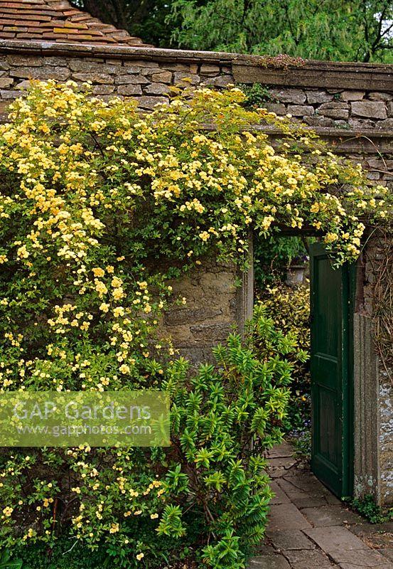 Rosa Banksiae Lutea Climbing Rose Needing A Sheltered Wall Garsington Manor