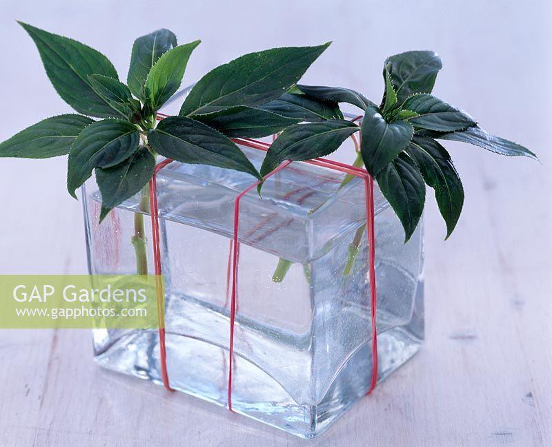 Gap Gardens Taking Cuttings Of Impatiens Cuttings In Vase Of