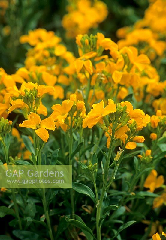 Erysimum cheiri 'Sunset Yellow' syn Cheiranthus 'Sunset Yellow'