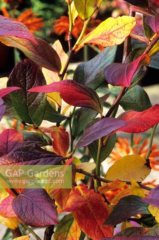gap gardens vaccinium corymbosum 39 goldtraube. Black Bedroom Furniture Sets. Home Design Ideas