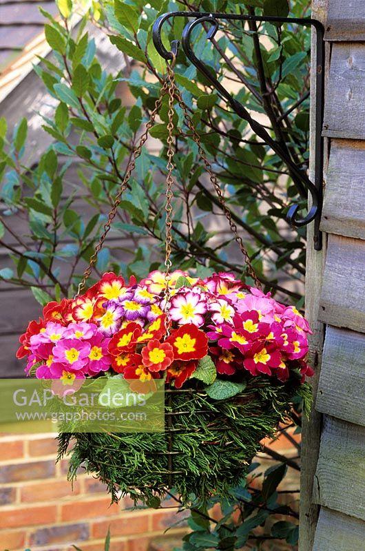 Gap gardens spring hanging basket with primroses basket lined spring hanging basket with primroses basket lined with conifer leaves mightylinksfo