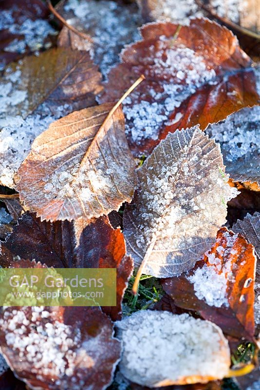 Fallen leaves of Sorbus incana with ice and frost