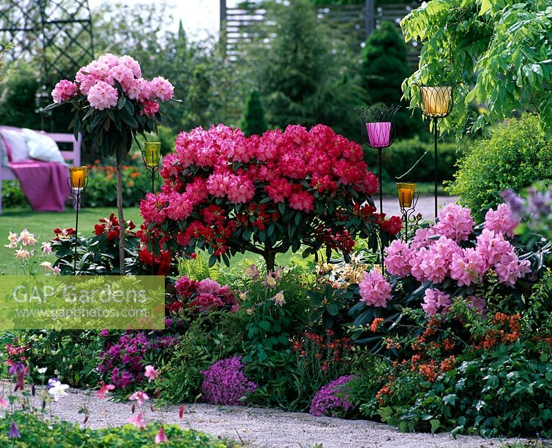gap gardens rhododendron 39 scintillation 39 rhododendron. Black Bedroom Furniture Sets. Home Design Ideas