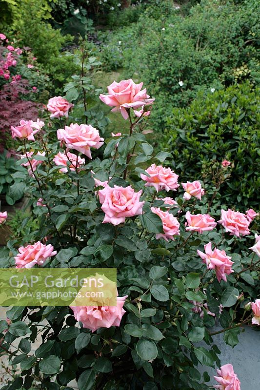 gap gardens rosa 39 compassion 39 climbing rose seen from first floor window with suburban. Black Bedroom Furniture Sets. Home Design Ideas