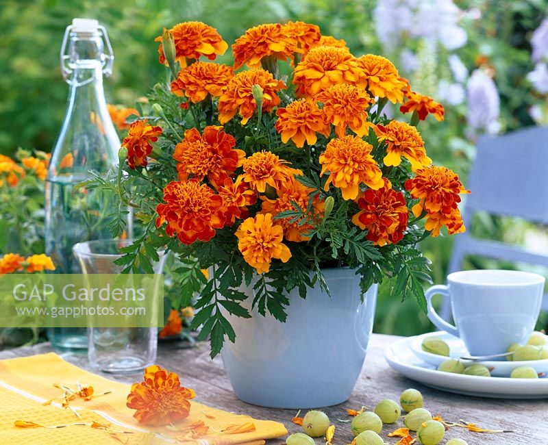Tagetes in pale blue pot on table with gooseberries, glass, bottle, cup and saucer