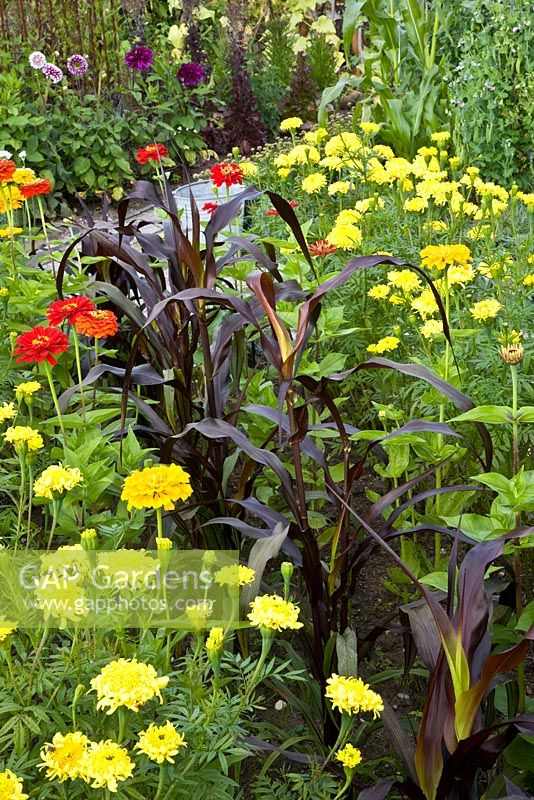 Potager with Tagetes, Zinnia and Zea mays