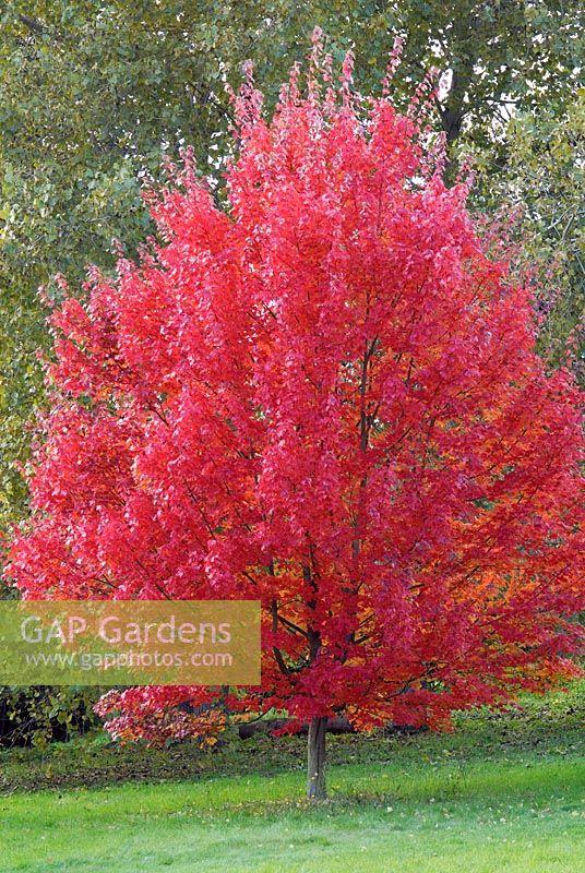 gap gardens acer rubrum 39 october glory 39 in autumn. Black Bedroom Furniture Sets. Home Design Ideas