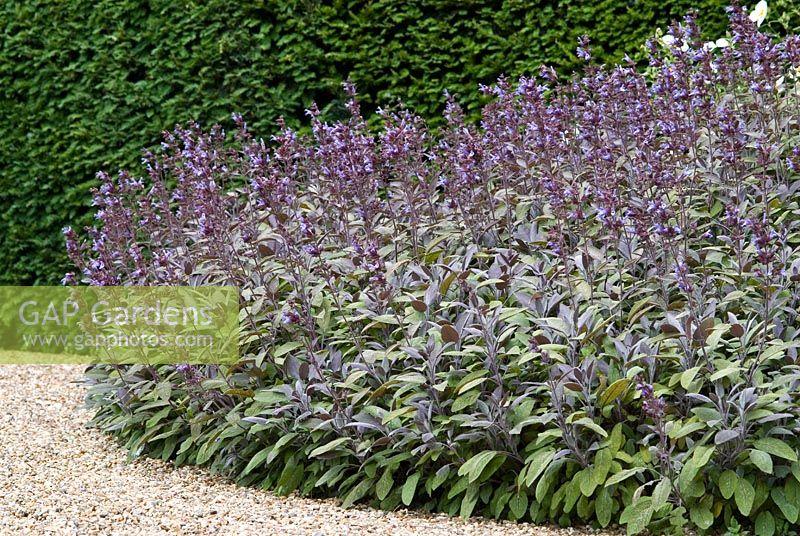 gap gardens salvia officinalis 39 purpurascens 39 purple sage growing over the edge of a gravel. Black Bedroom Furniture Sets. Home Design Ideas