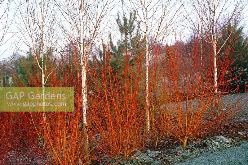 """salix singles & personals In """"the theory of ecological communities"""", mark vellend singles out  salix  arctica (arctic willow) and salix glauca (grayleaf willow) flower."""