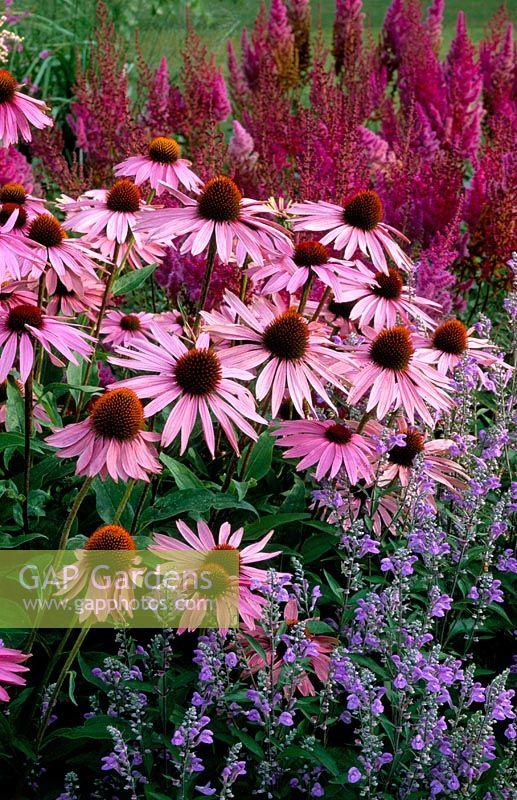 gap gardens echinacea purpurea 39 magnus 39 calamintha. Black Bedroom Furniture Sets. Home Design Ideas